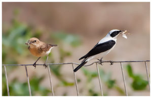 Black-eared Wheatears