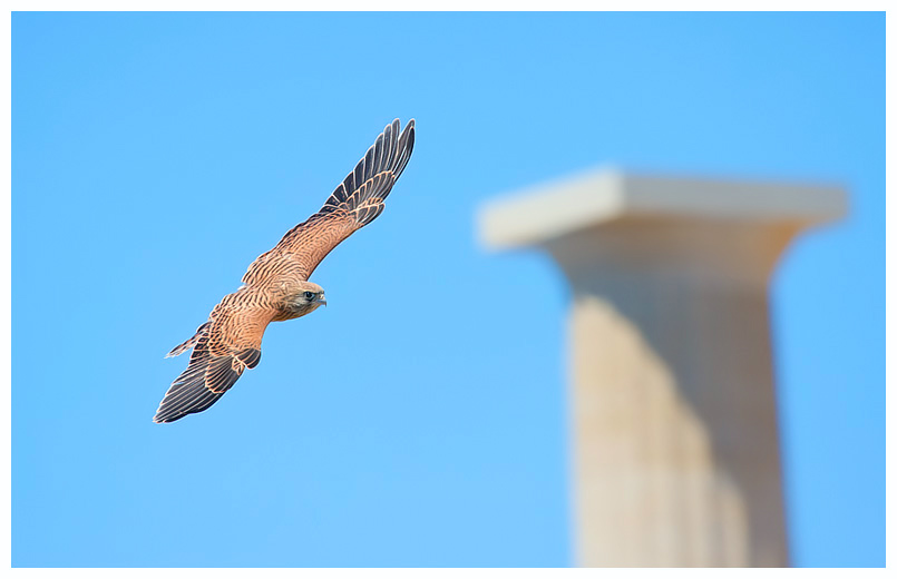 Kestrel in Lindos, Greece